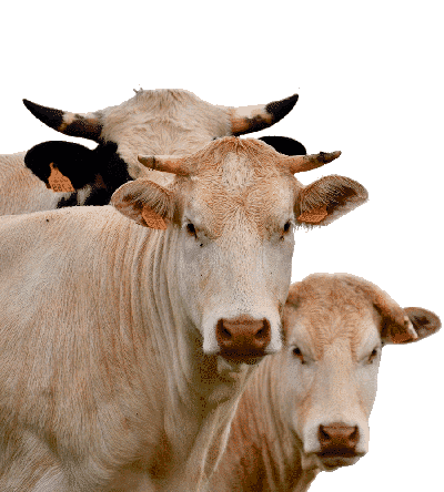 Solution for cows Multi (mastitis treatment) - 10 pcs